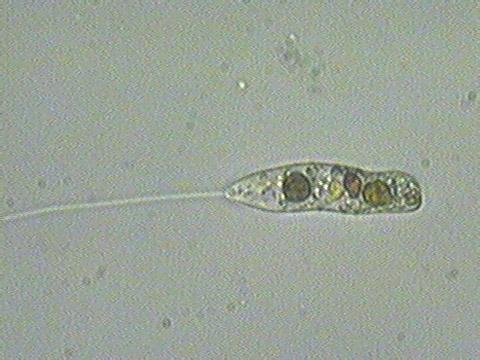 Blue Green Online >> microscopic organisms - nwnature.net